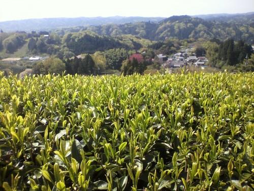 New buds at Miyayama - 2