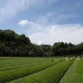 2011年新茶の収穫