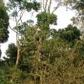 10m近くにもなる茶樹に登って、実際に茶摘みをしてみました。