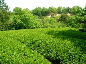茶園の新芽と、隣接する森の新芽の色合いが調和してきました。山の産物としての新茶が理想です(若山圃場)