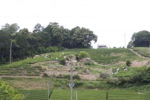 2012年6月 手摘みイベントの風景