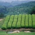 樹齢65年以上の在来種の茶園