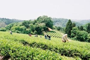 昨年5月 紅茶の茶摘み