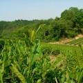 紅茶品種 べにふうきの芽 2006年5月 井口山圃場